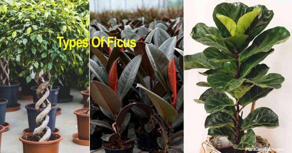 Benjamina, Burgundy, Ficus Lyrata - three Ficus types for the home and garden