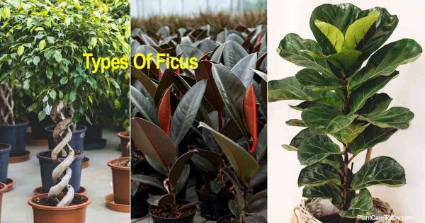 3 of the Ficus types for the home and garden