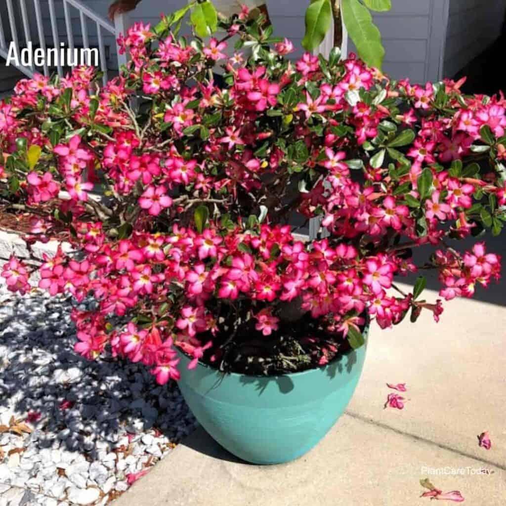 Potted Desert Rose full of flowers