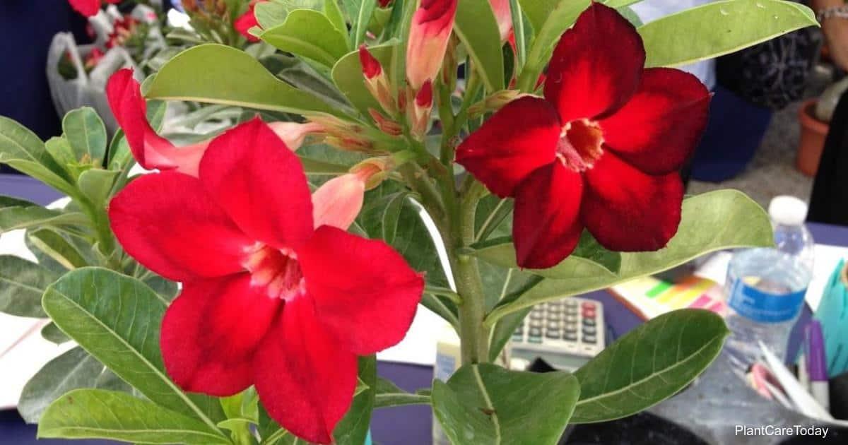 Blooming Desert Rose growing outdoors