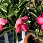 Pruning Desert Rose Plants: When | Why | How