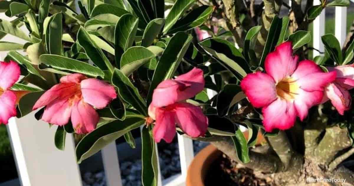 pruning desert roses for more flowers