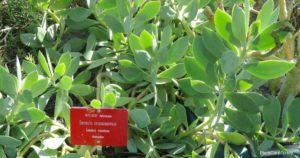 Senecio Crassissimus Growing And Care – Vertical Leaf Senecio