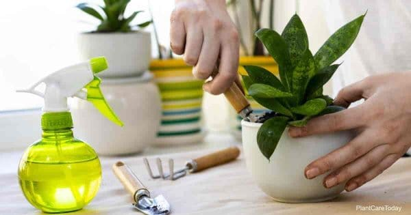 replanting small snake plant with new soil