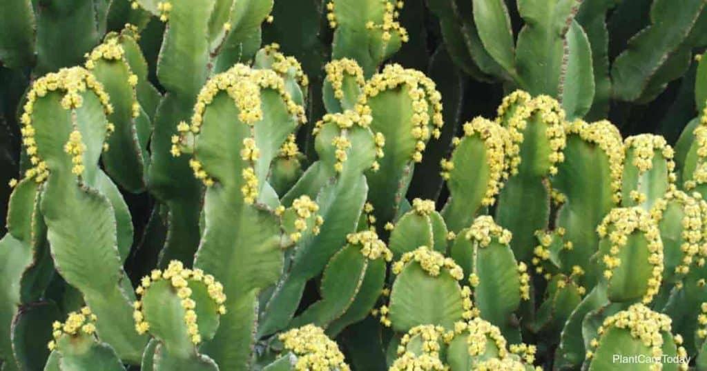 Euphorbia resinifera cactus with flowers closeup