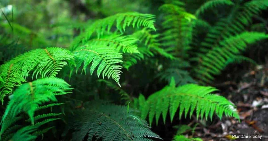 Tassel fern aka Polystichum polyblepharum