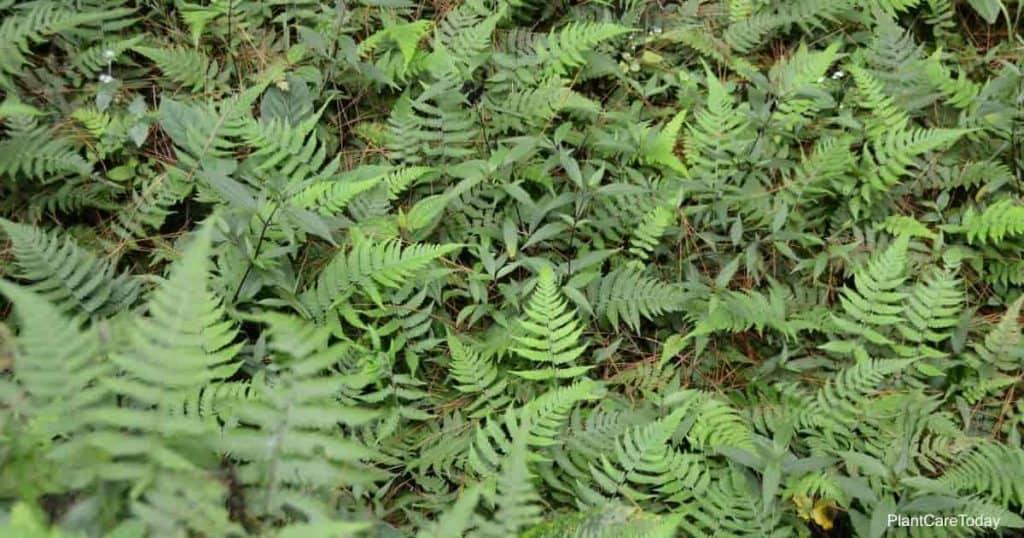 Athyrium filix-femina growing in moist environment and shade