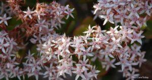 Tips On Flowering Jade Plants