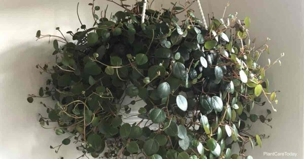 Peperomia pepperspot hanging basket