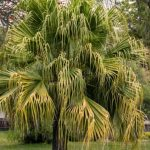 Chinese Fan Palm Care: How To Grow Livistona Chinensis