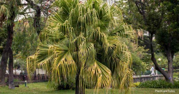 Chinese fan palm tree on a garden