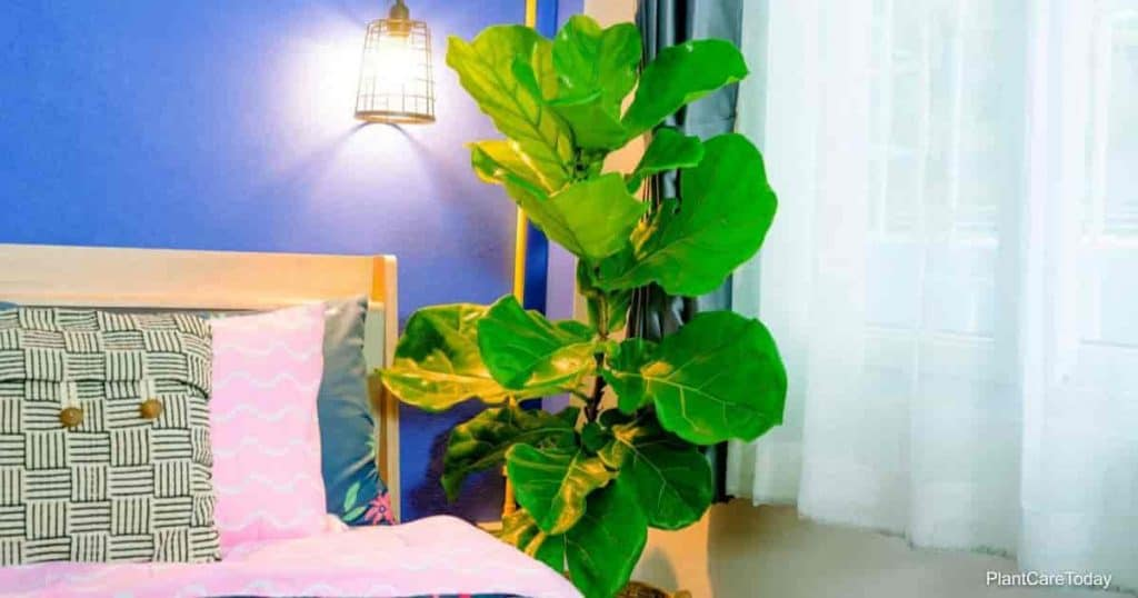 Fiddle leaf fig tree in the bedroom