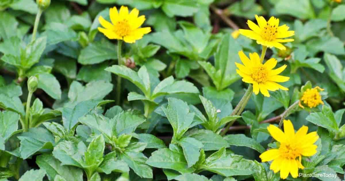 Blooming Wedelia plant   Myimagine-DepositPhotos