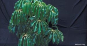 Schefflera Amate Plant Growing and Care