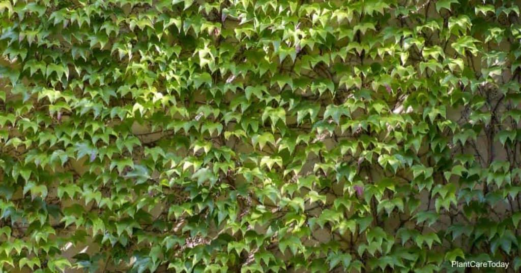 Virginia creeper vine is it poisonous?