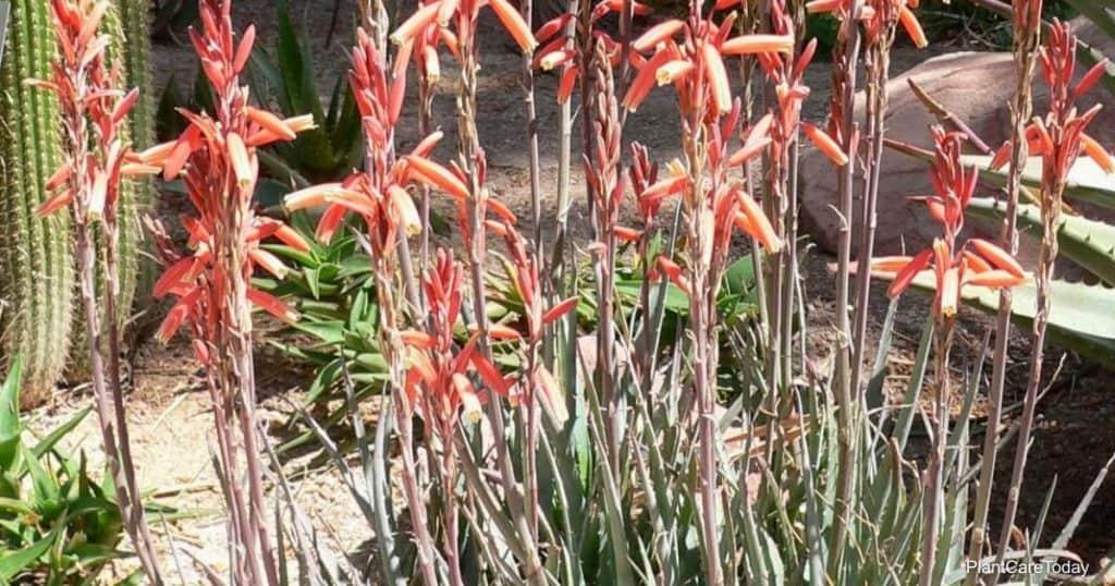 Aloe Blue Elf in Bloom
