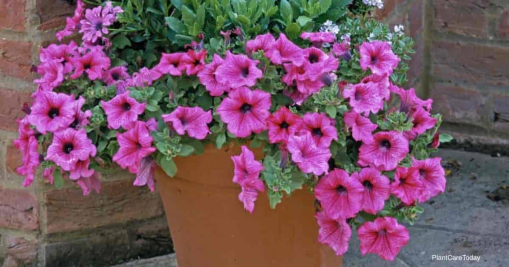 Annual Petunias spilling over the edge of a terra cotta pot