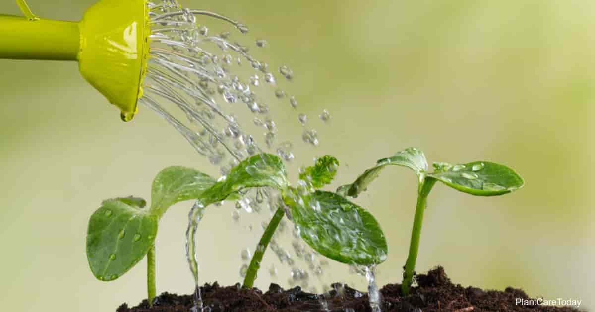 Watering young plants with transplant fertilizer