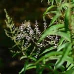 Lemon Verbena Care: How To Grow Grow Aloysia Citriodora