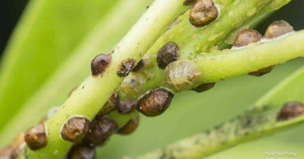 Soft scale colony feeding on leaf stems