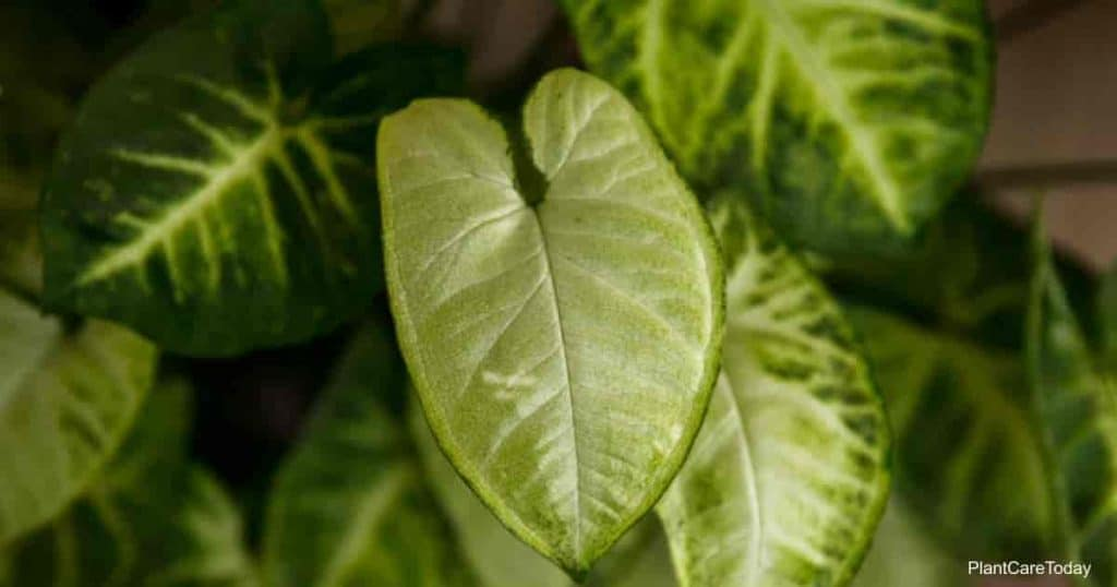 Syngonium White Butterfly - Close up of leaves with white patterns.