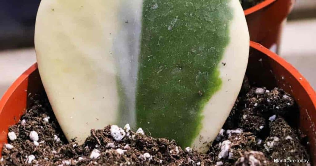 best soil for Hoya plants should drain well