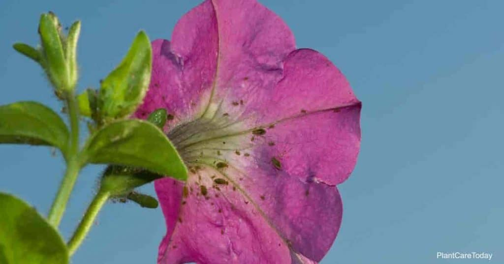 Petunia flower with Aphids