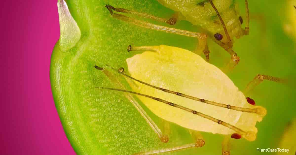 Aphids feeding on daylilies