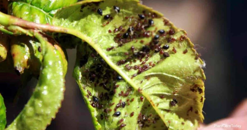 Leaves affected by aphids insect pests