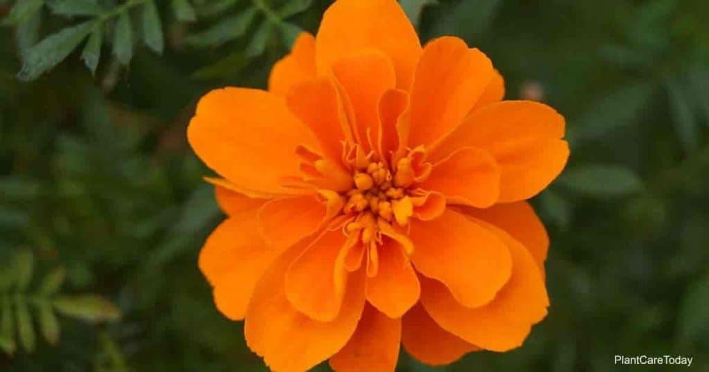 Orange yellow Cosmos sulphureus flower