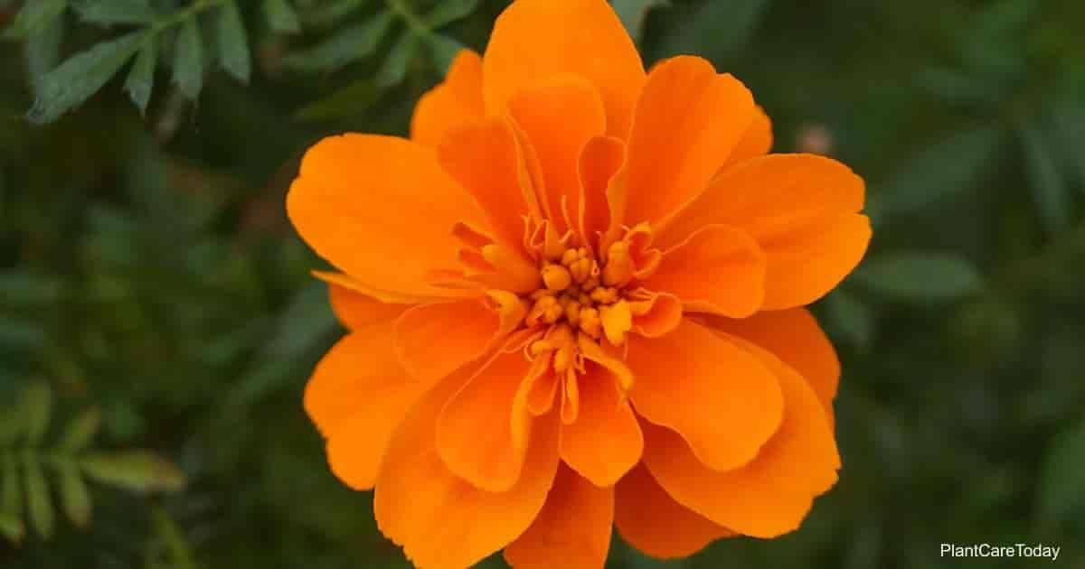 Flower of the Orange Cosmos sulphureus