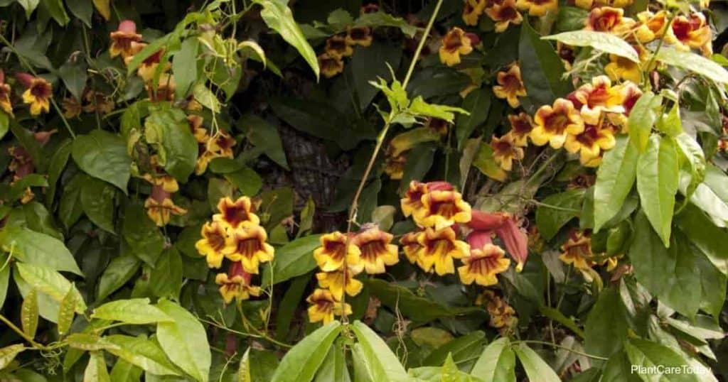 Blooming Bignonia capreolata Crossvine - Tangerine Beauty