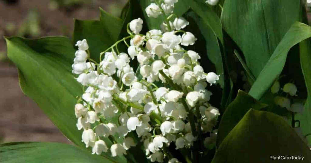 Lily of the valley flowers, blooming Convallaria majalis white flowers, spring bloomer, up-close
