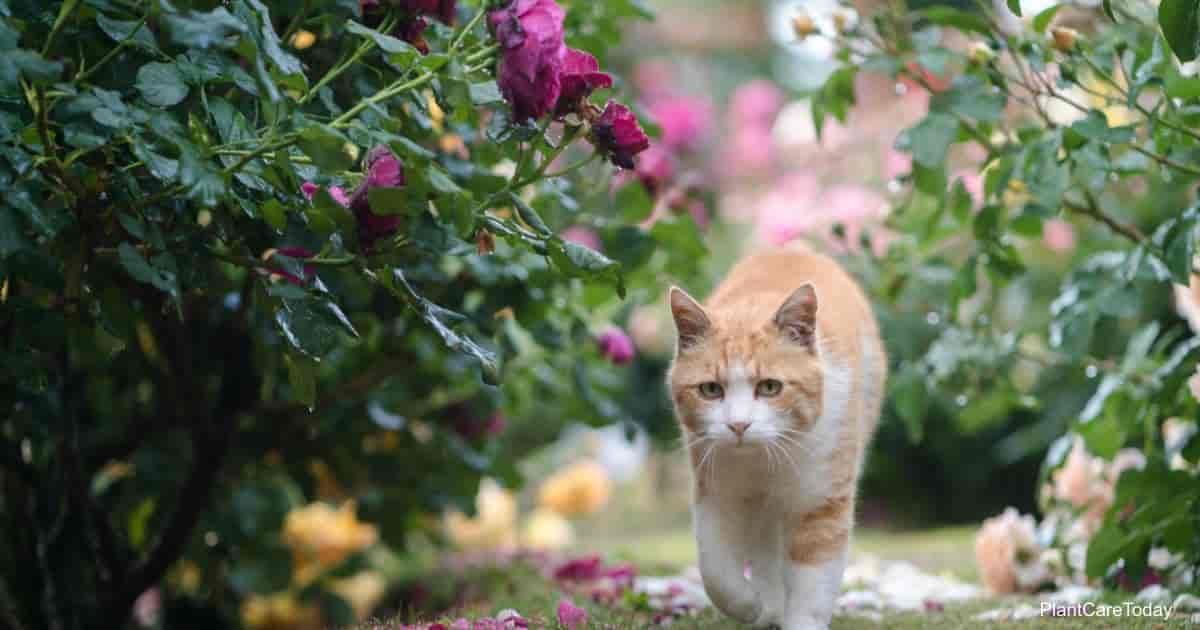 Cat slowly walking in rose garden