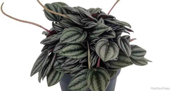 Attractive leaves of Peperomia Napoli Nights