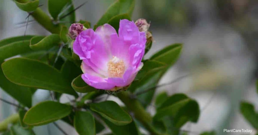 Pereskia Flower from the cactus family