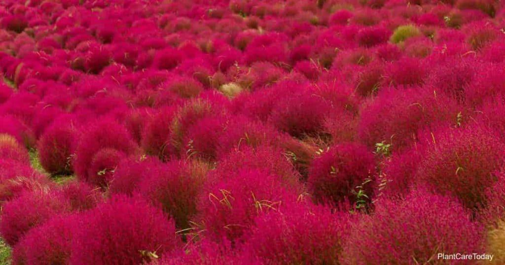 Field of Red Bassia Kochia scoparia