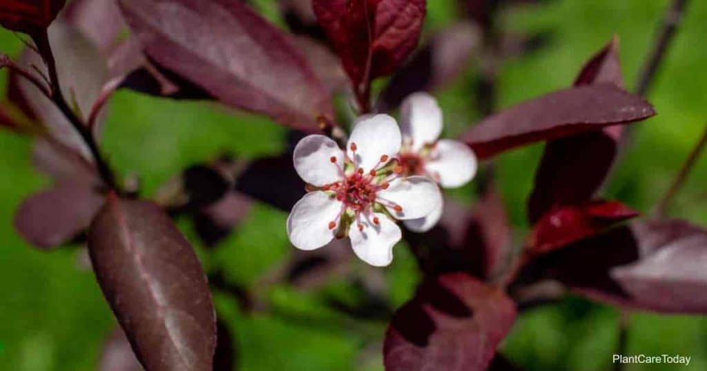 Close up view of white and red blossoms and buds on a purple leaf sand cherry bush (prunus cistena.