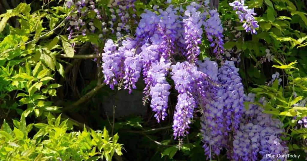 Beautiful blooms of the Wisteria vine that can become invasive