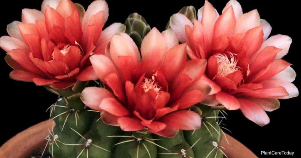 Gymnocalycium baldianum cactus in bloom
