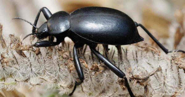 Darkling beetle a bane to gardeners