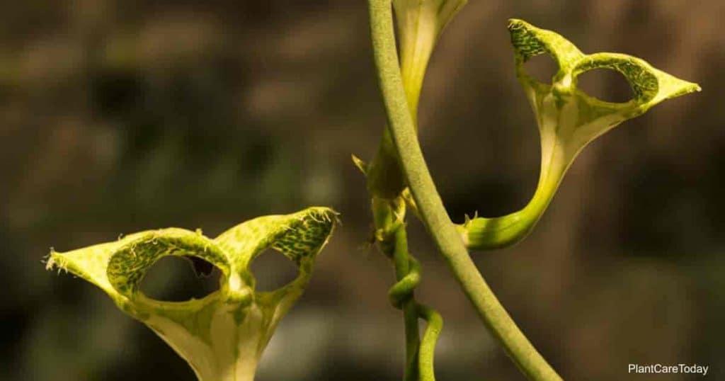 Ceropegia sandersonii aka the Parachute plant