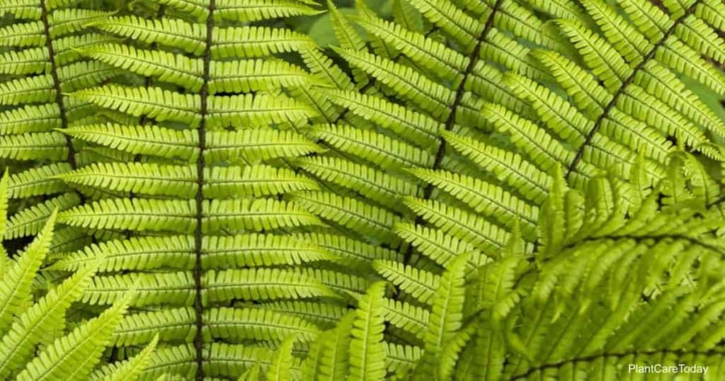 Bright green leaves of Dryopteris wallichiana up close