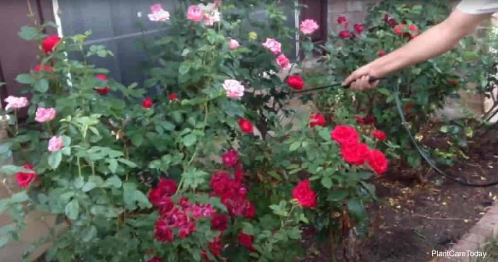 Spraying neem oil on roses