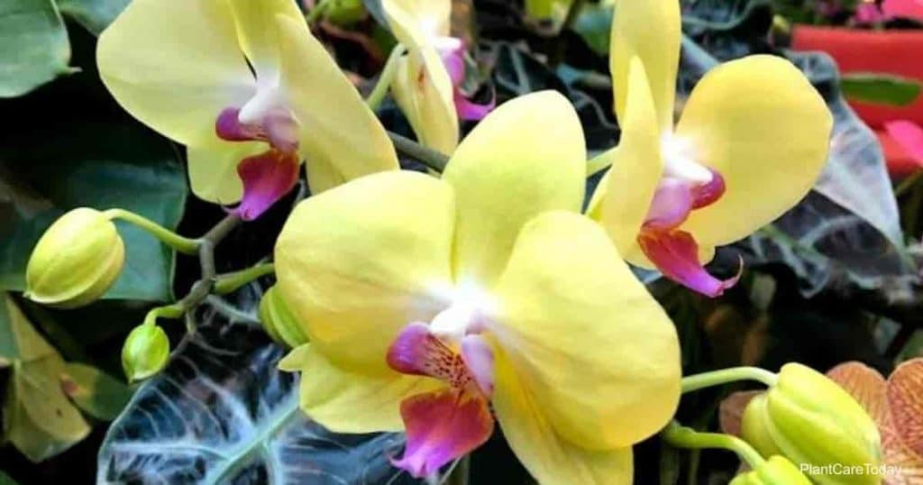 A pretty yellow moth orchid flower blooming at the Grand Floridian Hotel in Walt Disney World Orlando, Florida. But, what do you do if your orchid leaves are turning yellow?