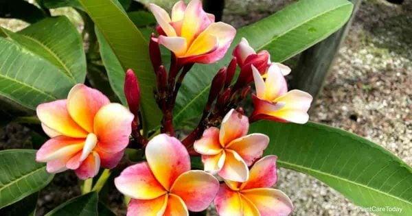 colorful Plumeria flowers