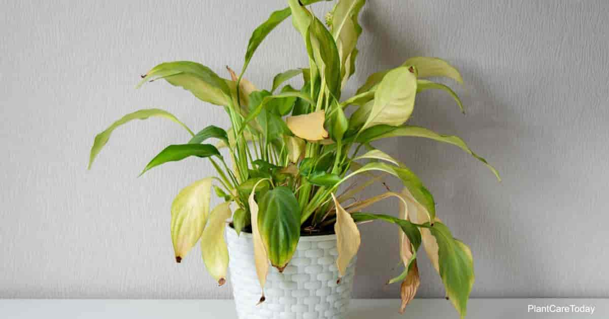 Yellow leaves on Spathiphyllum