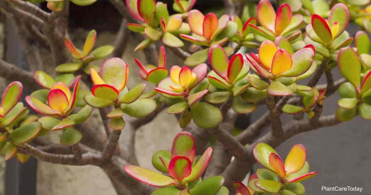 Crassula ovata plant with red leaves