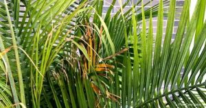 Why Are Majesty Palm Leaves Turning Brown?