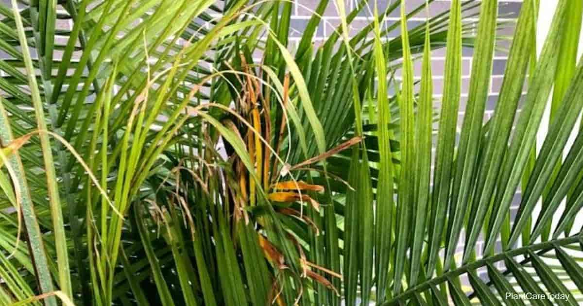 Leaves turning brown on Majesty Palm
